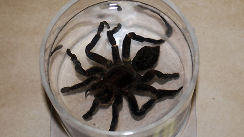 Preserving a Tarantula Specimen for Posterity